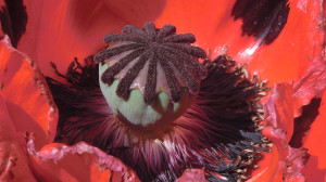 poppy botanische tuin