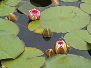 10 waterlelies (2)