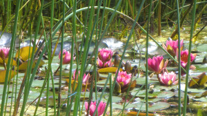 waterlelies botanische tuin